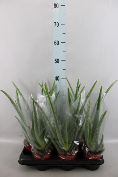 <h4>Aloe vera</h4>