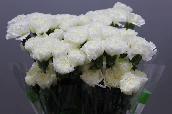 <h4>Dianthus Delphi</h4>