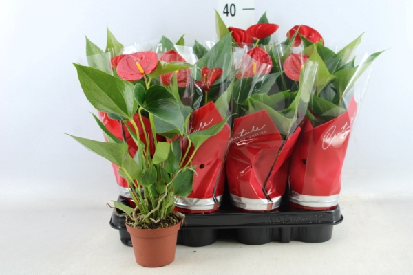 <h4>Anthurium  'Diamond Red'</h4>