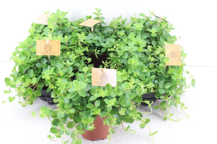 <h4>pl. Smit 10,5cm - Peperomia Rotundifolia</h4>