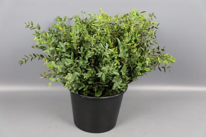<h4>Euc. Parvifolia Kort</h4>