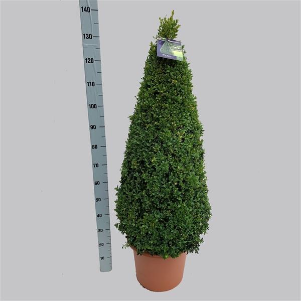 <h4>Buxus semp. pyr. 110cm  37/TC20</h4>