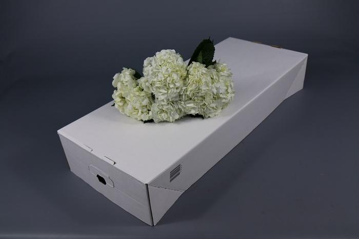 <h4>Hydrangea White Select</h4>