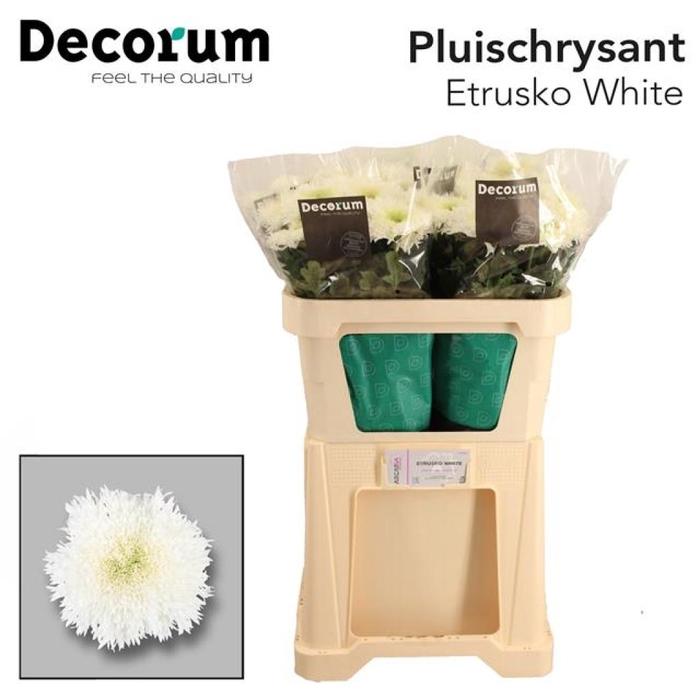 <h4>Chr G Etrusko White</h4>