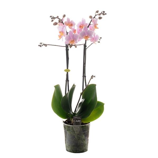 <h4>Phalaenopsis mf. Amaglad</h4>