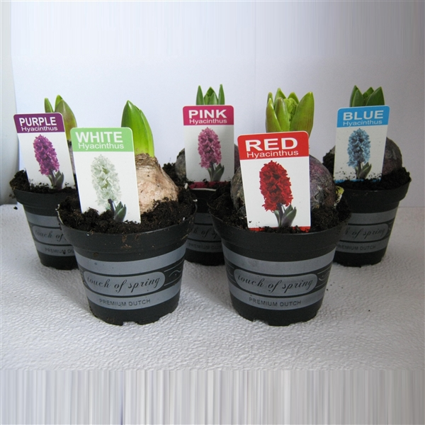 <h4>Hyacinthus mix  1pp</h4>