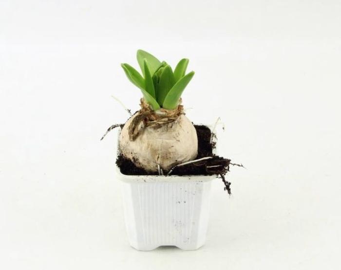 <h4>Hyacinthus White Pearl</h4>