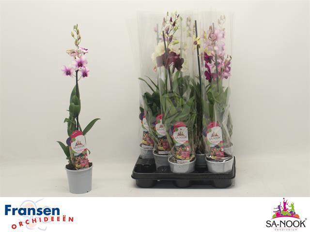 <h4>Dendrobium Sa-Nook Mix 11Ø 60cm 1stem 8Flow</h4>