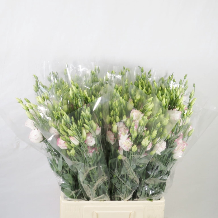 <h4>Lisianthus bicolor rosa</h4>