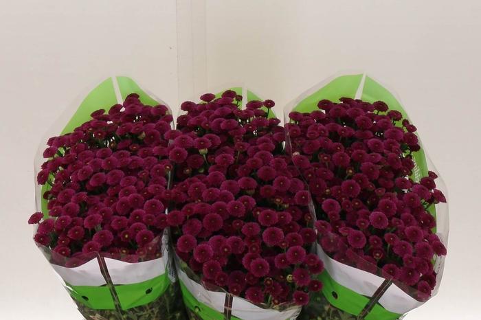 <h4>Chrysant santini Cal Dark Pink</h4>