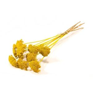 Achillea parker yellow