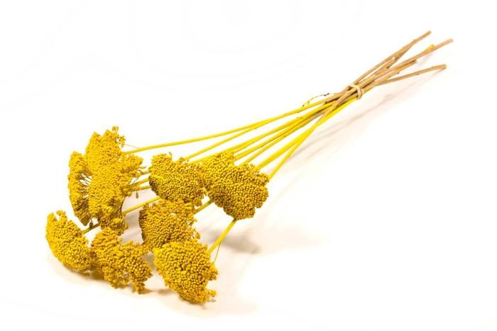 <h4>Achillea parker yellow</h4>