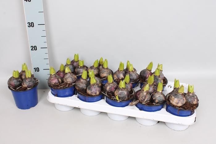<h4>Bol op pot Hyacint 12cm 3pit Blue</h4>