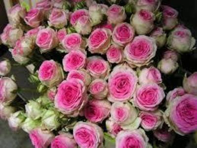<h4>Rose Sp. Mimi Eden</h4>