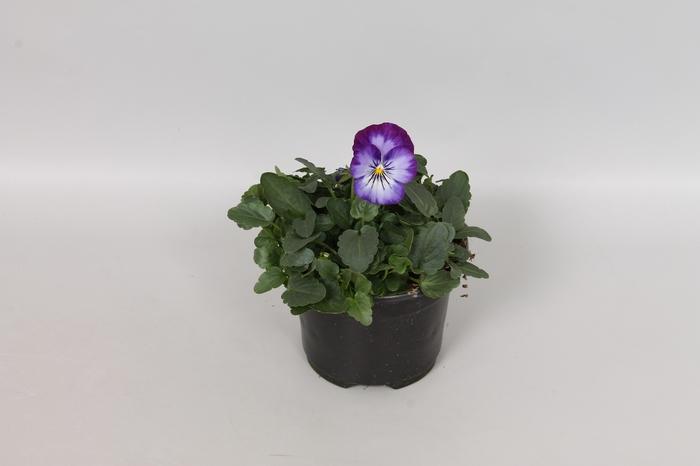 Viola cornuta F1 Purple