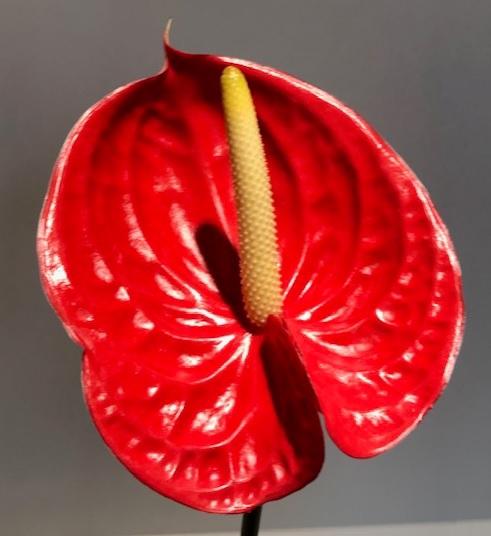 <h4>Anthurium Tropical Red Medium</h4>