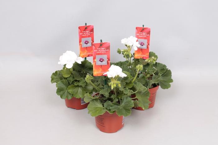 <h4>Pelargonium Calliope M White</h4>
