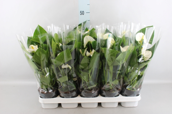 <h4>Anthurium andr. 'Sierra White'</h4>