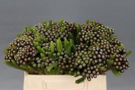 <h4>Brunia Albiflora</h4>