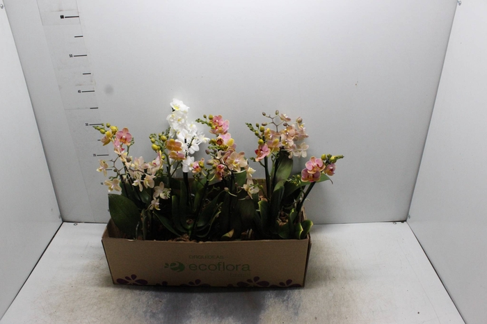 <h4>PHALAENOPSIS MINI P12 QUAD.</h4>