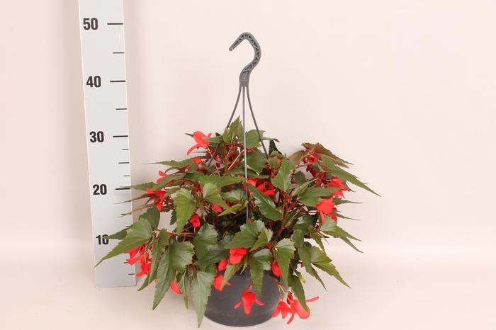 Hangpot 23 cm Begonia Red