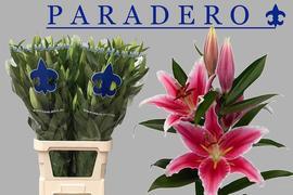 <h4>Lilium oriental Paradero</h4>