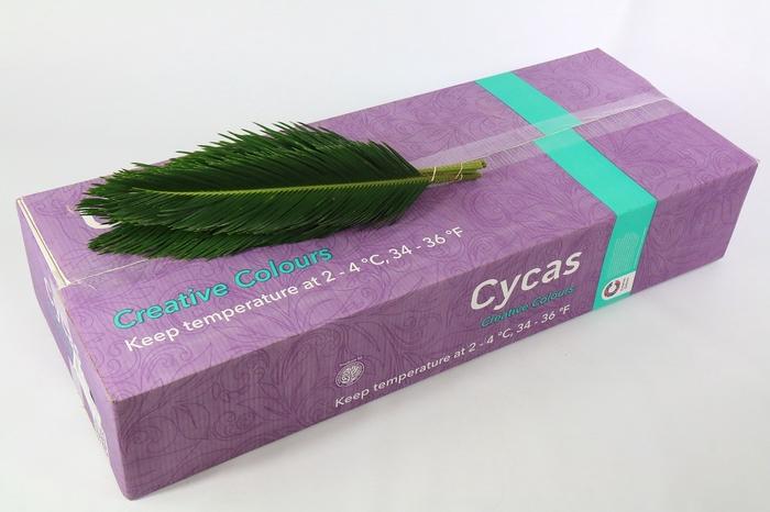 <h4>Cycas Revoluta Creative Colours</h4>