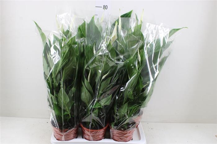 <h4>Spathiphyllum Verdi</h4>