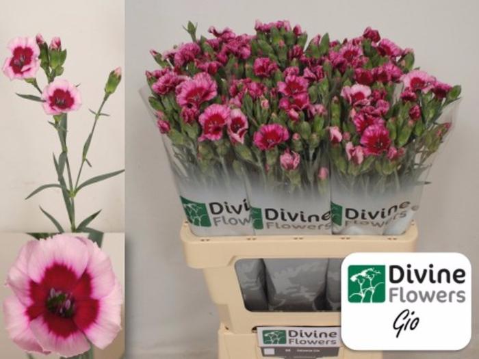 <h4>Dianthus Solomio Gio</h4>