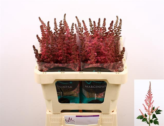 <h4>Astilbe Chin. Vision Pink</h4>