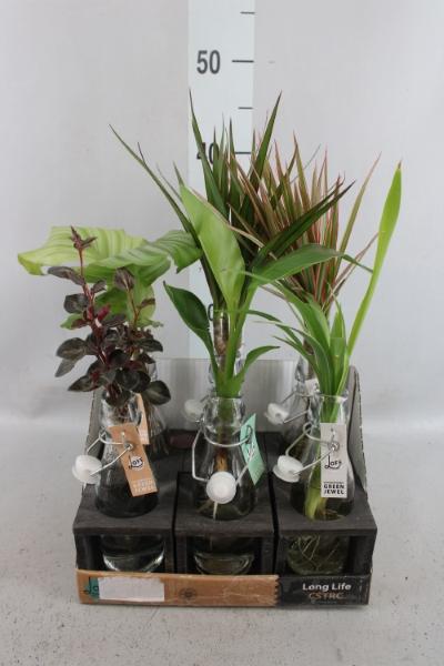 <h4>Planten  ..in Glas L%</h4>