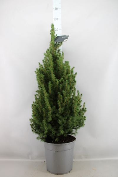 <h4>Picea abies 'Conica'</h4>