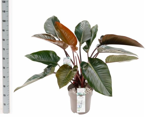<h4>Philodendron Red Beauty 27Ø 90cm</h4>