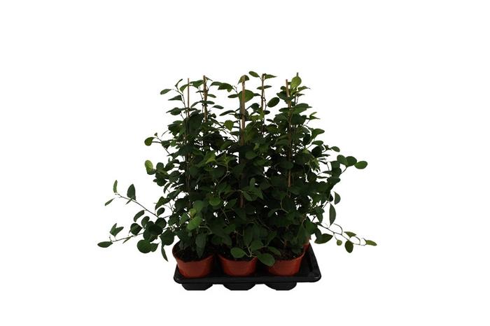<h4>Ficus deltoidea (F.diversifolia)</h4>