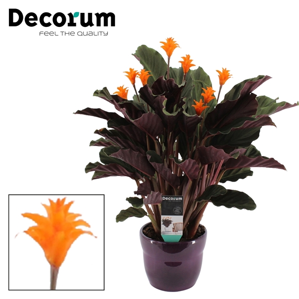 <h4>Calathea Crocata Candela 7/8 in paars bolpot DECORUM</h4>