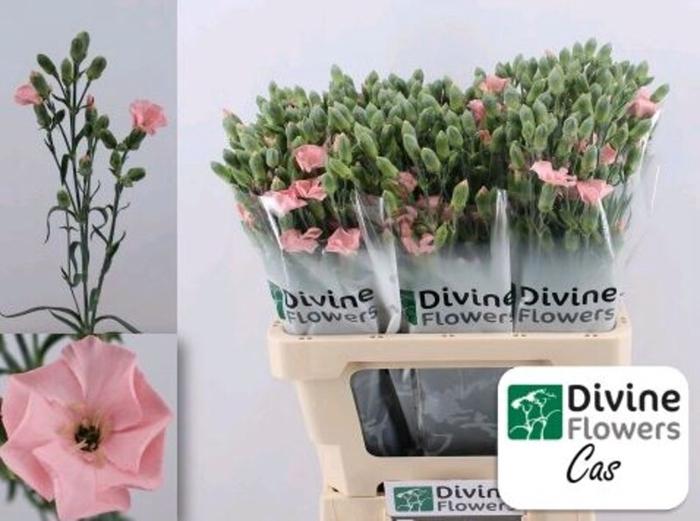 <h4>Dianthus Solomio Cas</h4>