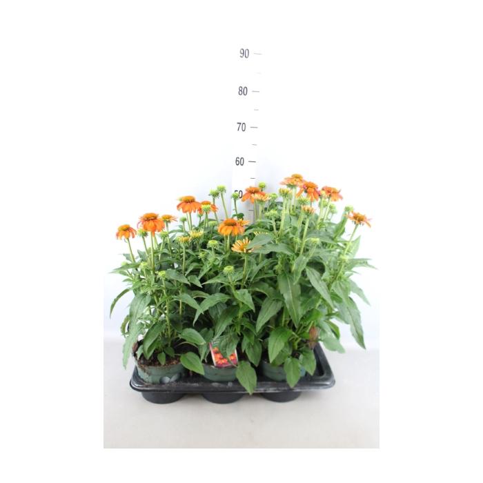 <h4>Echinacea  'SunSeekers Orange'</h4>