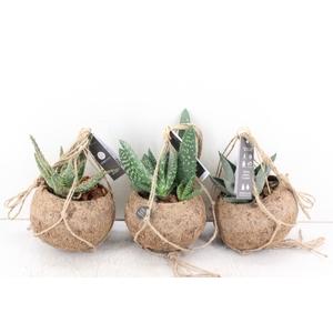 arr. Kokoplant - KDS15 Aloe mix 15cm