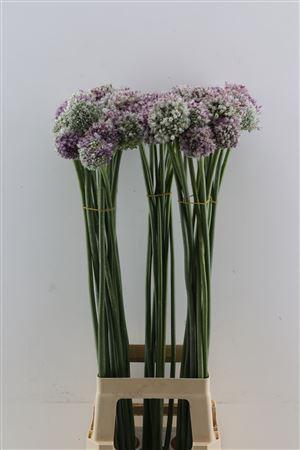 <h4>Allium Ampeloprasum Wit Xxl</h4>