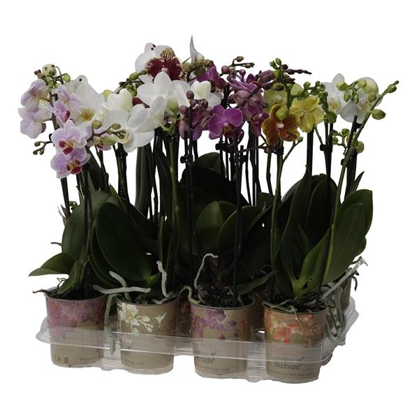 <h4>Phal Kolibri 2tak mix big flower</h4>