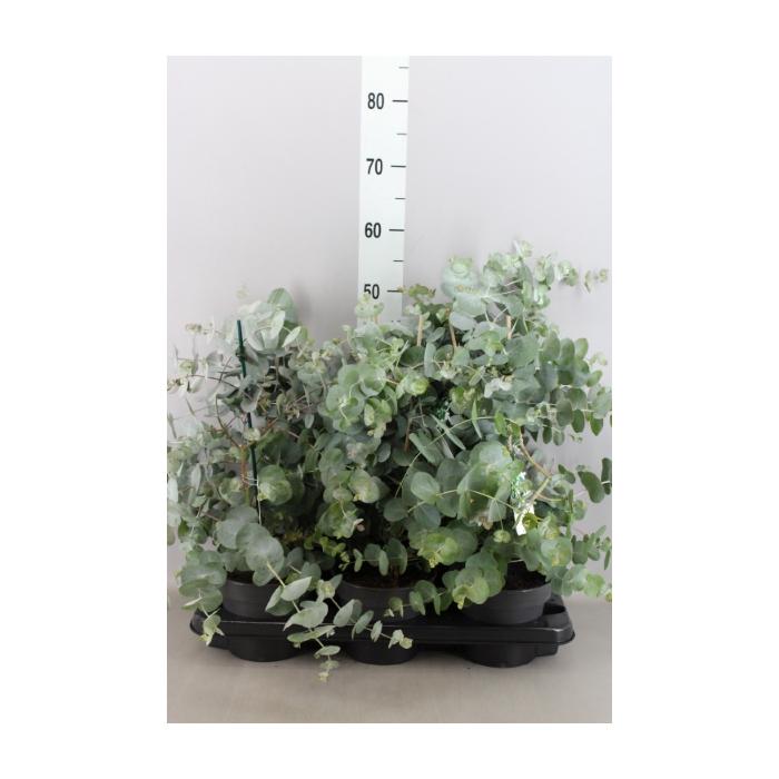 <h4>Eucalyptus cinerea</h4>