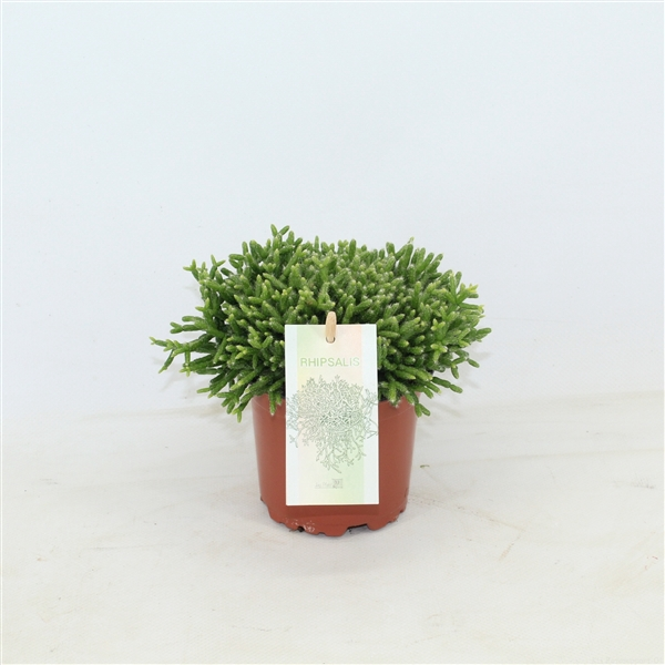 <h4>Rhipsalis cereuscula</h4>