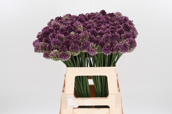 <h4>Allium Sphaerocephal (kogel)</h4>