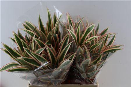<h4>Ananas 60cm Xxl</h4>