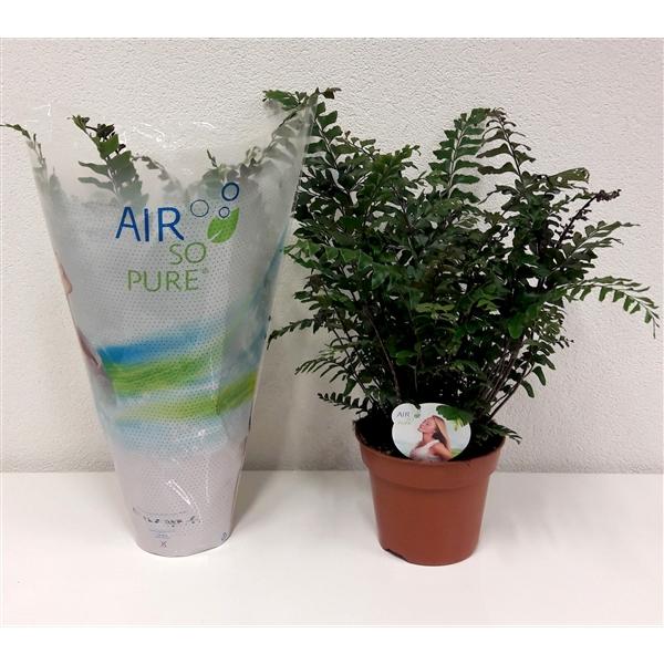 <h4>Didymochlaena truncatula Air So Pure</h4>