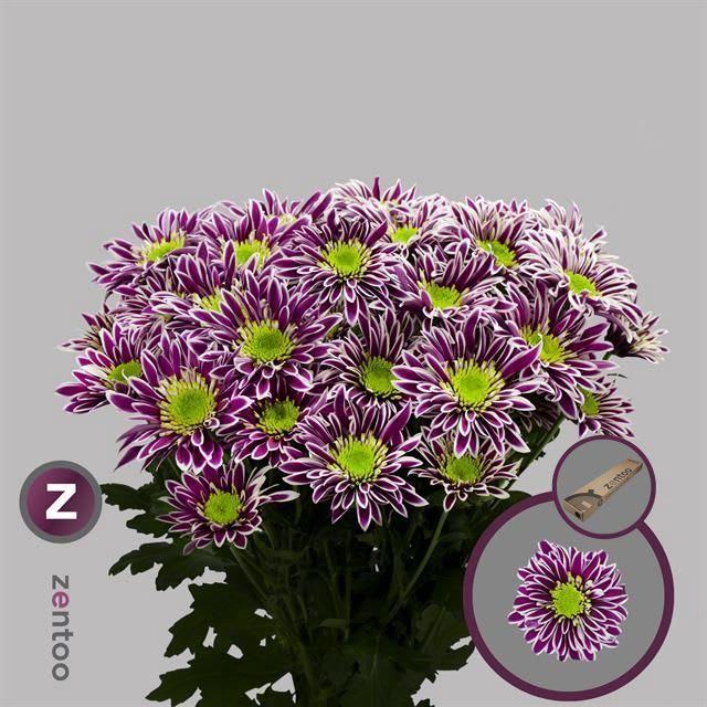 <h4>Chrysanthemum TR 'Saba'</h4>