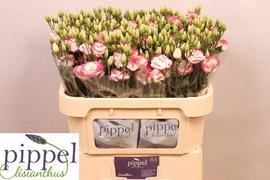 <h4>Lisianthus bicolor rosa Holanda</h4>