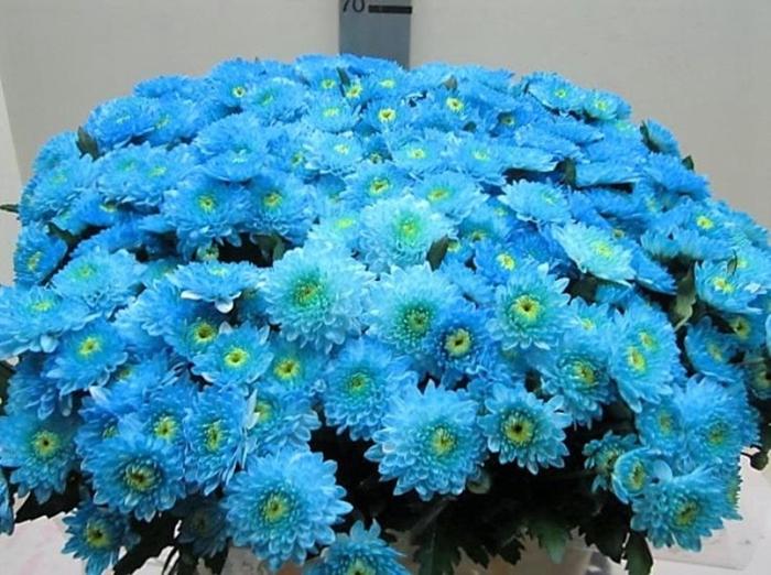 <h4>Chr T Ibis Licht Blauw</h4>