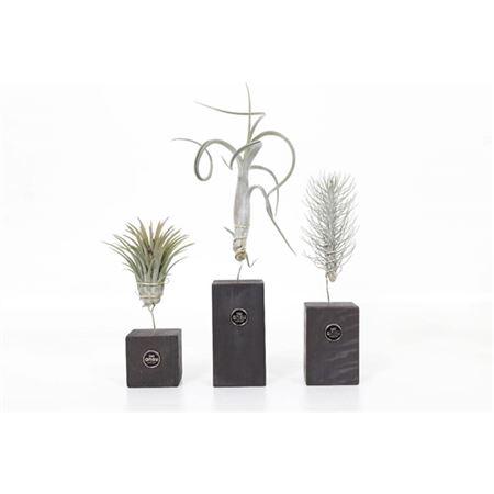 <h4>Tillandsia Burnt Wood Trio</h4>