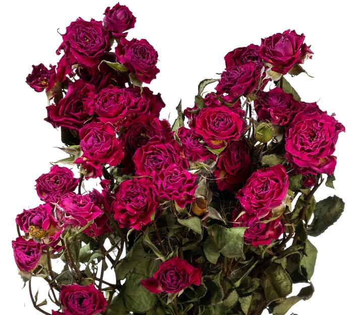 <h4>Dried Rosa tros Lianne</h4>